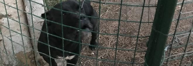 Cani corso con code e orecchie mutilate: sgomberato allevamento in provincia di Salerno
