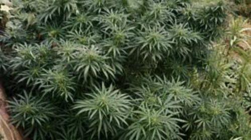 Piantagione di canapa indiana a Furore, sequestro di 38 piante: caccia al responsabile