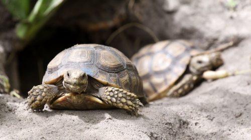 Nel Cilento altri due nidi di tartaruga Caretta caretta