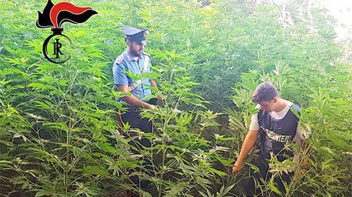 Coltivava droga nella serra, arrestato imprenditore agricolo a Pagani. Sequestrati 280 chili di marijuana