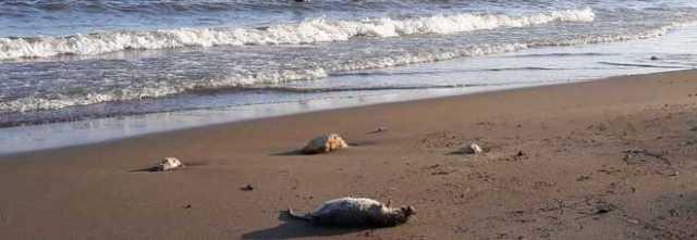 Salerno: topi morti sulla spiaggia del centro