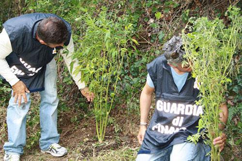 Tre giovani coltivavano piantagione di marijuana nel salernitano
