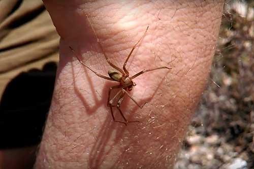 Scafati: commerciante in gravi condizioni a causa di un ragno