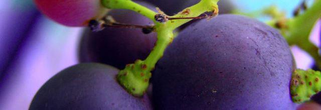 Soffocata da un chicco d'uva, muore davanti alla madre