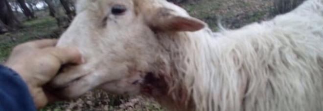 Allarme in provincia di Salerno: branco di lupi fa strage di pecore