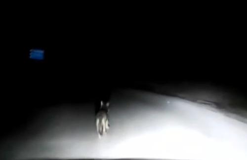 Paura lupi nel Cilento, cucciolo avvistato in strada