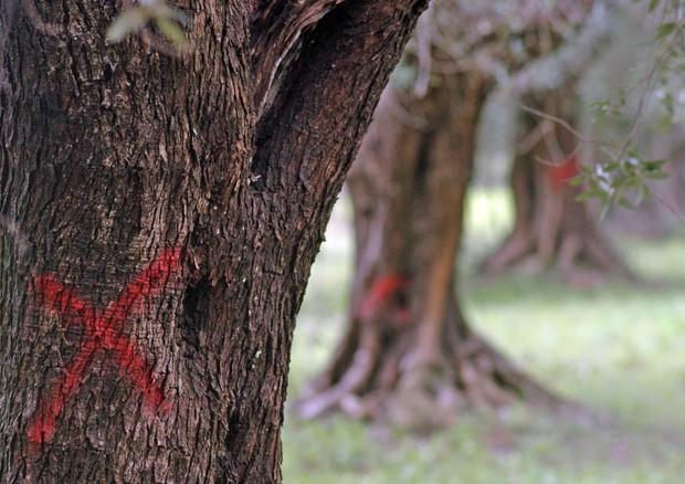 Stretta anti Xylella, distruzione degli ulivi infetti o il carcere