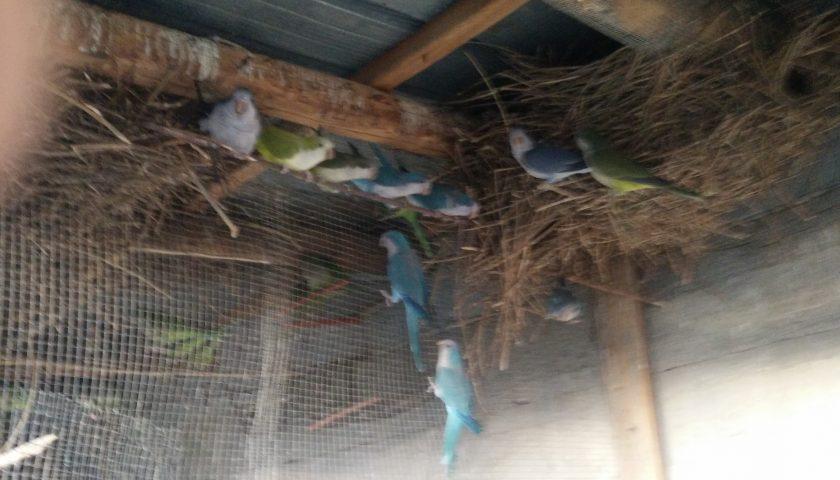 Montecorice: sequestrati 50 esemplari vivi di volatili detenuti illegalmente