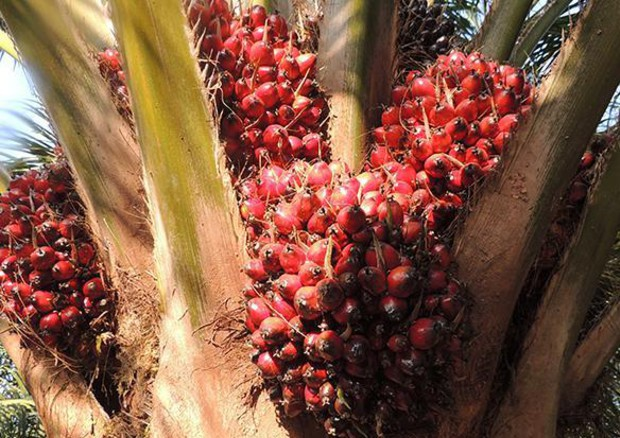 Ue verso divieto dell'uso di olio di palma non certificato in biodiesel