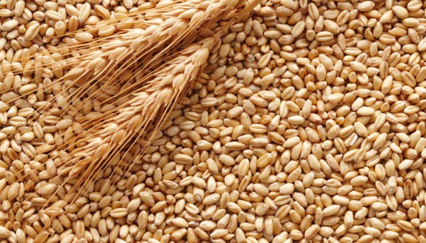 Sicurezza alimentare, sequestrate mille tonnellate di grano a Salerno: valevano oltre 200mila euro