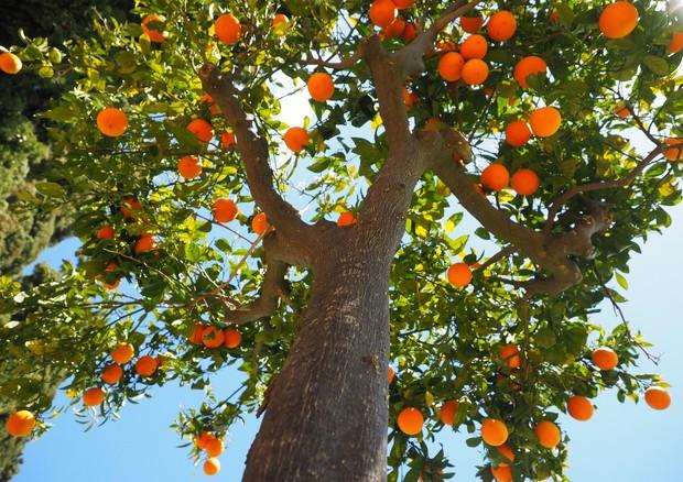 Arance, l'inverno troppo mite scoraggia i consumi