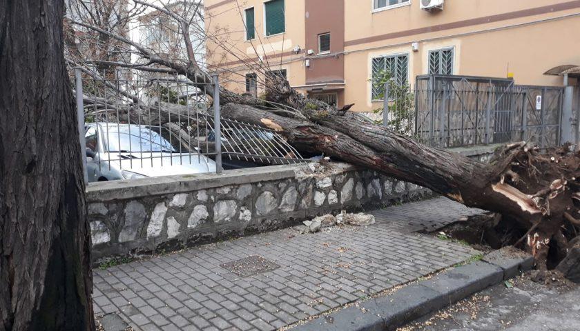 Maltempo a Salerno: cade albero a Torrione, distrutta cancellata e danni ad auto in sosta