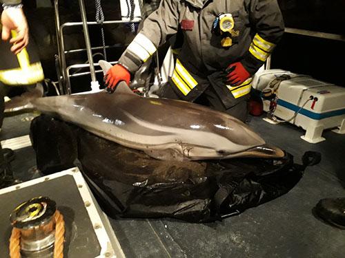 Salerno: salvato delfino spiaggiato sul Lungomare Colombo