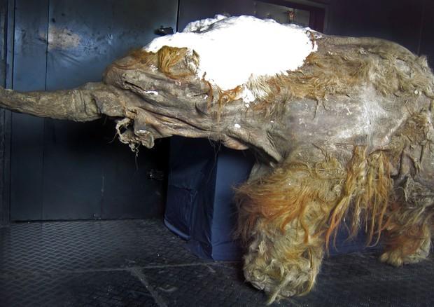 Risvegliate le cellule di un mammut vissuto 28.000 anni fa