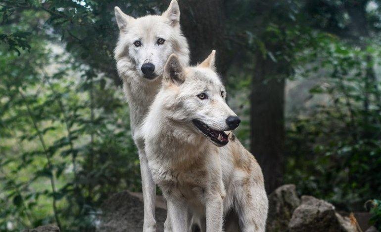 Mucche sbranate dai lupi nel Cilento, il Parco paga i danni