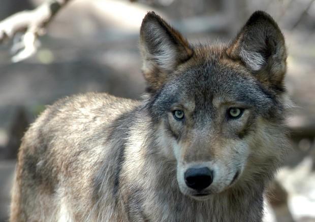 Nuovo Piano lupo, esclusi gli abbattimenti controllati