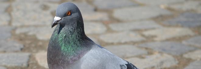 Troppi colombi a Teggiano: arriva il mangime sterilizzante