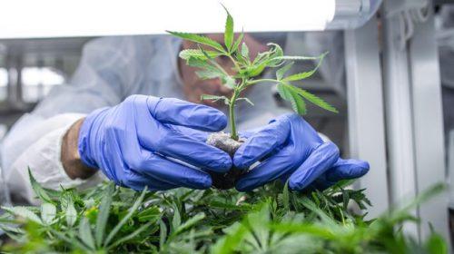 Cannabis legale: da quattro anni se ne parla alle Camere. Che fine ha fatto?