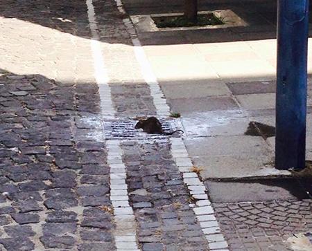 Disinfestazione e derattizzazione a Salerno, ecco il cronoprogramma