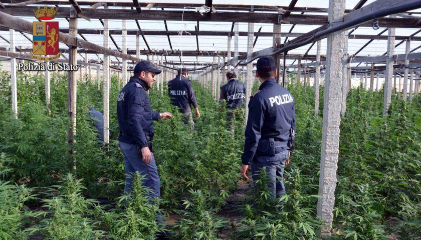 Persano: distrutta dalla Polizia piantagione di marijuana vicino al fiume Sele, s'indaga sui responsabili