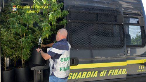Coltivazione di 400 piante di cannabis a Scafati e Sant'Antonio Abate, nei guai un 46enne