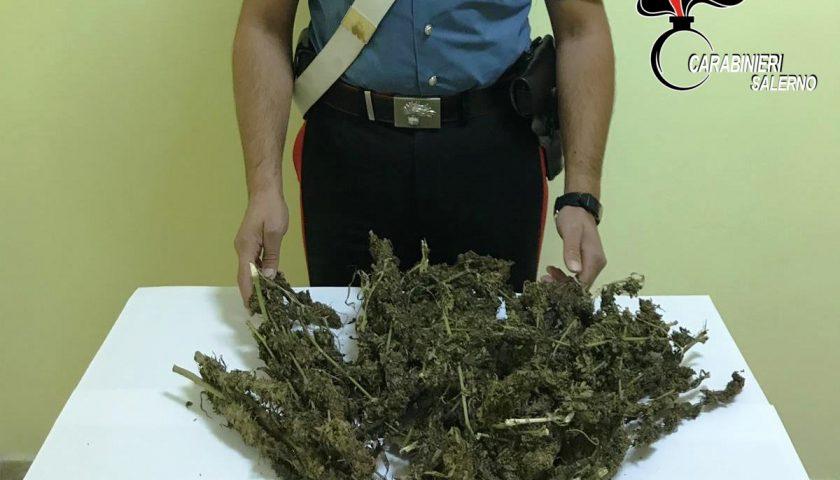 Lotta allo spaccio di droga, sequestrata una vasta coltivazione di marijuana