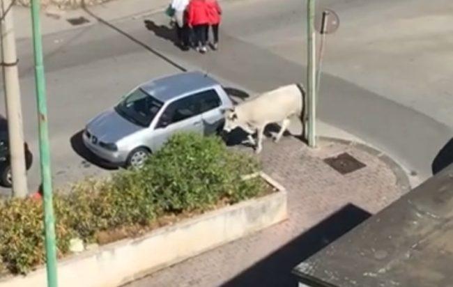 Salerno: mucca vaga per strada, segnalazione da via Moscato