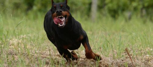 Pontecagnano: bimbo azzannato da un cane, ferito a gambe e genitali
