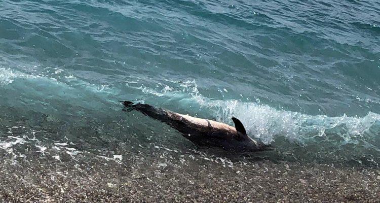Capaccio, carcassa di delfino rinvenuta nei pressi di Foce Sele