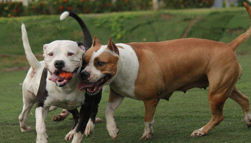 Difende il suo cagnolino e viene aggredito da due pitbull a Ogliastro Cilento