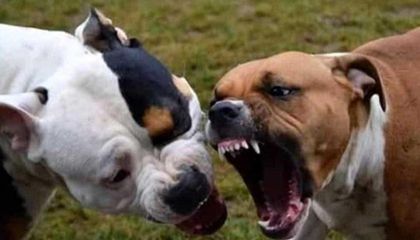 Castellabate, pitbull inferociti uccidono uno Yorshire e feriscono il padrone trasportato in ospedale