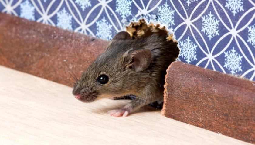 Baronissi, scuola chiusa due volte in 7 giorni per topi