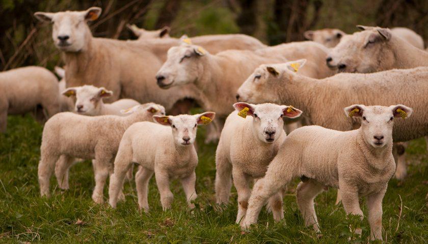 Raccolti e oliveti distrutti dagli ovini a Giffoni Sei Casali, caccia ai pastori incivili