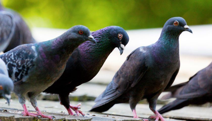 """Il comune di Albanella dichiara guerra ai piccioni: """"Sono troppi, basta"""""""