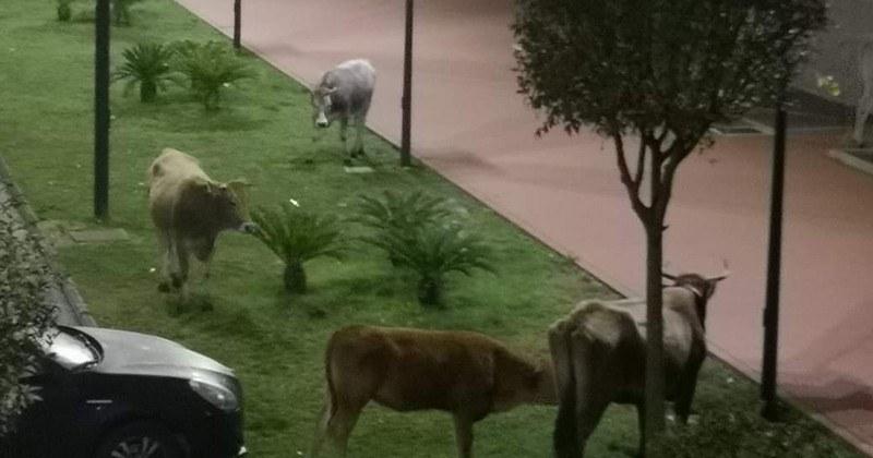 Baronissi, bovini in strada nel quartiere Cariti