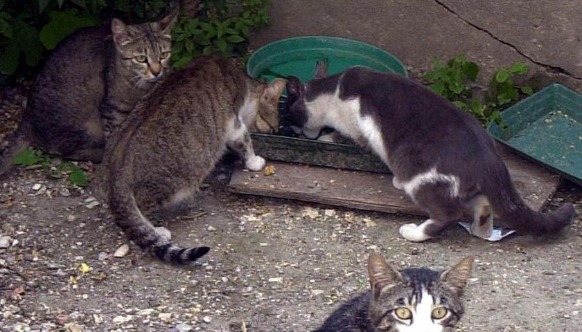 Pisciotta, gatti usati come bersagli: colpiti da dardi, indagano i carabinieri