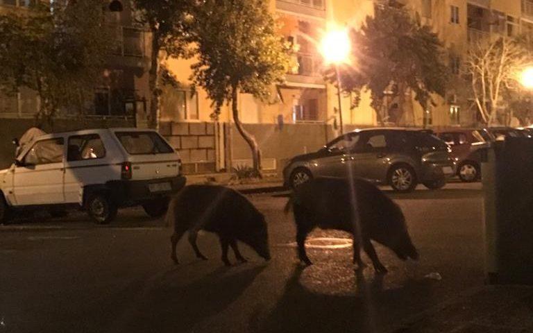 Cinghiali in strada a Sant'Eustachio, residenti costretti a chiudersi in strada per non essere aggrediti