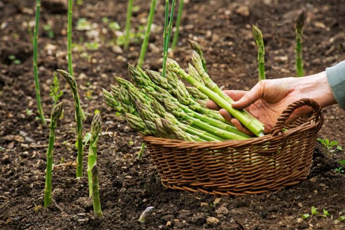Escono di casa per andare a raccogliere asparagi: multati a Sessa Cilento due uomini di Pollica