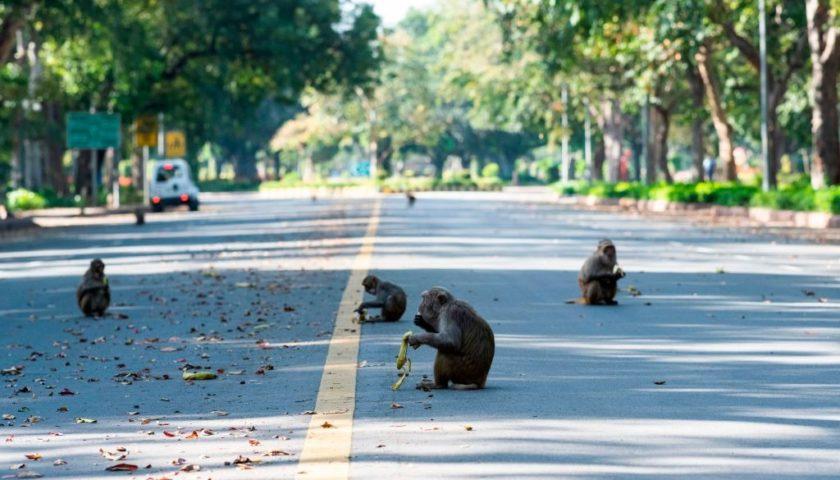 CORONAVIRUS nel mondo. In INDIA gli animali invadono le città