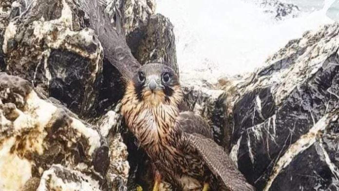 Ad Ascea salvato un falco Pellegrino soccorso tra gli scogli