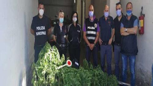 A Persano scoperta piantagione di marijuana: caccia ai responsabili