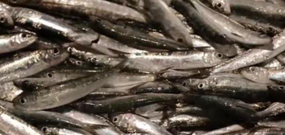 coronavirus: in difficoltà anche i pescatori di alici della costiera amalfitana