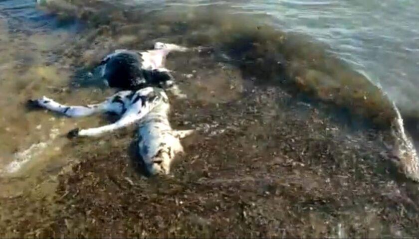 Carcassa di bufalino rinvenuta sulla spiaggia di Capaccio