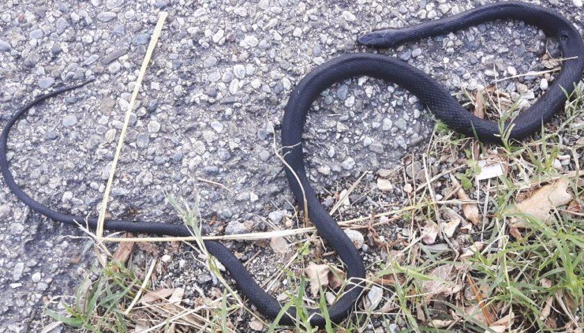Vede un serpente, scappa in bici e cade: ragazzino di 9 anni si frattura il polso