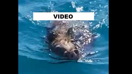 VIDEO – Cinghiale ferito finisce in mare, tenta di raggiungere la riva ma muore