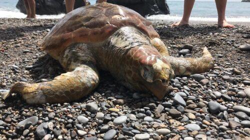 A Palinuro salvata tartaruga caretta caretta, portata a Napoli per le cure