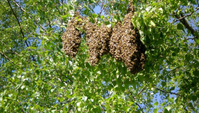 Choc a Colliano: segano un albero, rubano 20 chili di miele e uccidono migliaia di api
