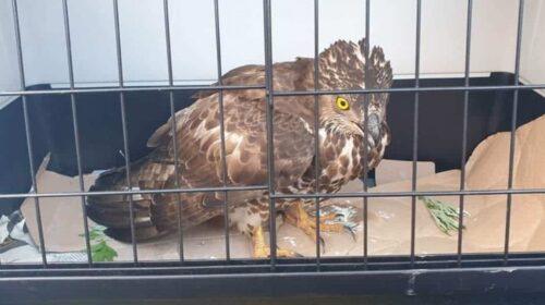 Falco pecchiaiolo salvato a San Pietro al Tanagro