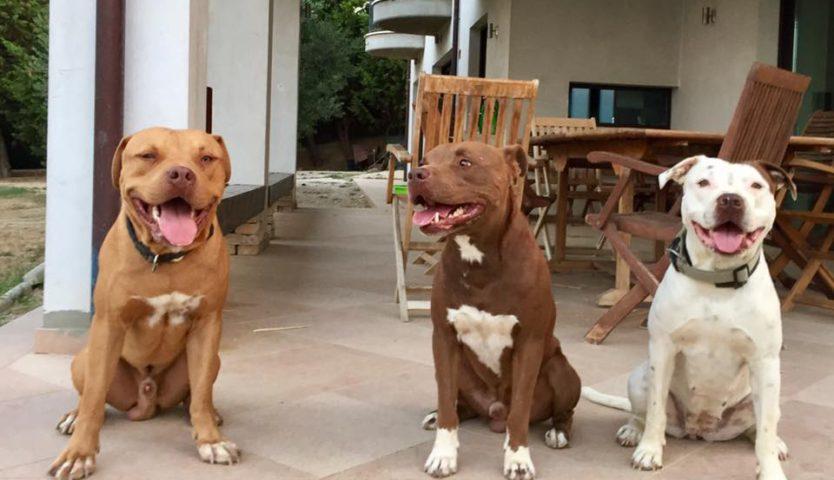Tre pitbull rinchiusi in casa, condannata una donna di 65 anni di Sarno