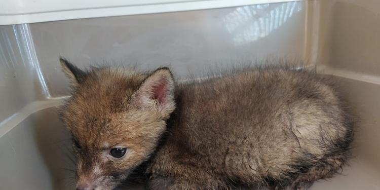 I volontari dell'Enpa di Salerno mettono in salvo due cuccioli di volpe
